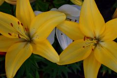 两朵明亮的黄色百合花 库存照片