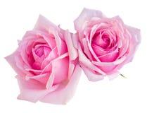 两朵桃红色开花的玫瑰 库存图片