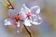 两朵桃红色樱桃花宏观看法  库存照片