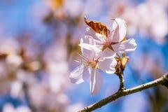 两朵桃红色樱桃花 库存照片