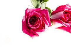 两朵桃红色玫瑰以一些绿色设法掩藏 免版税图库摄影