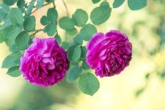 两朵桃红色玫瑰在美好的绿色背景的庭院里 选择聚焦 免版税库存图片