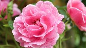 两朵桃红色玫瑰特写镜头 与唯一的照相机运动上升了到另一个 股票录像