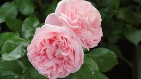 两朵桃红色玫瑰特写镜头 在雨水滴的两朵玫瑰  移动与唯一罗斯的照相机别的 股票视频
