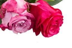 两朵桃红色花关闭  库存图片