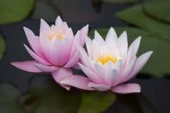 两朵桃红色莲花荷花 免版税图库摄影