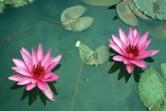 两朵桃红色莲花 图库摄影