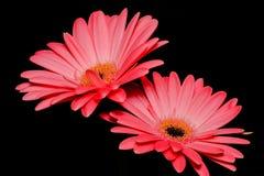 两朵桃红色雏菊演播室射击 库存照片