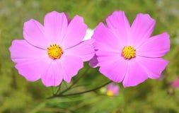 两朵桃红色kosmeya花 免版税库存照片