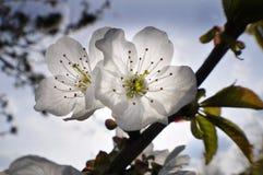 两朵樱桃花 免版税图库摄影