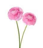 两朵浅粉红色的波斯毛茛花 库存照片