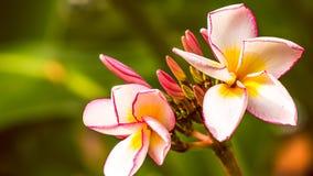 两朵淡紫色赤素馨花羽毛花,关闭 免版税库存照片