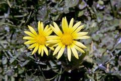 两朵狂放的雏菊花 免版税库存照片