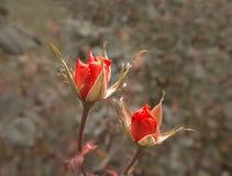 两朵猩红色玫瑰在秋天庭院里 落日点燃的死的植物明亮 枯萎在玫瑰灌木非常特写镜头射击上升了 库存图片