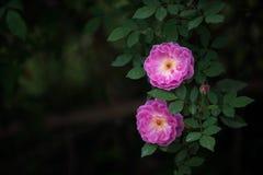 两朵玫瑰在黑背景中 库存图片