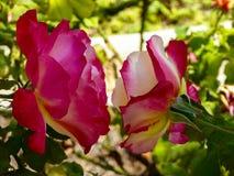 两朵玫瑰密切联系 免版税库存照片