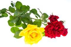 两朵玫瑰红色和黄色在轻的背景 免版税图库摄影