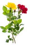 两朵玫瑰红色和黄色在轻的背景 库存图片