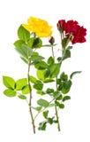 两朵玫瑰红色和黄色在轻的背景 免版税库存图片