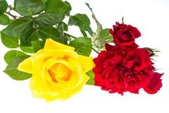 两朵玫瑰红色和黄色在轻的背景 免版税库存照片