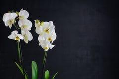 两朵白色兰花花 免版税库存图片