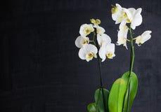 两朵白色兰花花 图库摄影