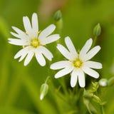 两朵白色美妙的精美花 免版税库存图片