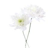 两朵白色菊花 免版税库存照片