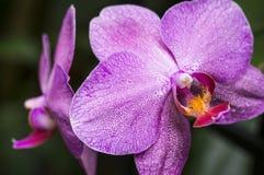 两朵紫色有斑点的兰花有自然深绿叶子背景 免版税库存图片
