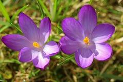 两朵紫色番红花顶视图在春天 图库摄影