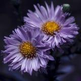 两朵紫色花在秋天 免版税库存照片
