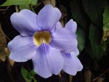 两朵紫色藤本植物大花的花在阳光下 免版税库存照片