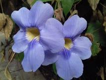 两朵紫色藤本植物大花的花在阳光下 库存图片