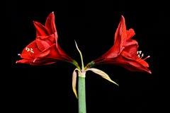 两朵红色孤挺花花 库存图片