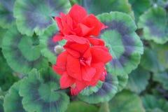 两朵红色花和绿色样式叶子 免版税图库摄影