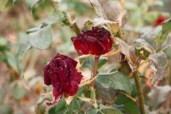 两朵红色茶玫瑰色花在秋天庭院里 库存照片