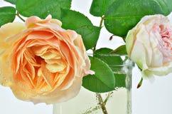 两朵罗斯花,白色和黄色与露水 免版税图库摄影