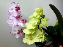 两朵美丽的小的兰花 免版税库存图片