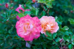 两朵美丽的灌木玫瑰在桃红色树荫下 库存图片