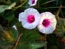 两朵美丽的花甘薯在庭院里 有与叶子的绿色背景 库存照片