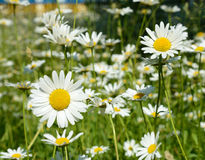 两朵美丽的雏菊特写镜头在一个晴天在草甸 图库摄影