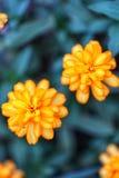 两朵美丽的黄色花,深绿叶子自然背景,凉快的时间的特写镜头图片 库存照片