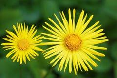 两朵美妙的黄色花,小和大,类似太阳 库存照片