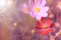 两朵花变粉红色和在美好的背景的红色在阳光下 免版税库存图片
