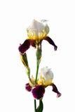 (两朵花和一芽)被隔绝的深紫红色白色虹膜 免版税库存照片