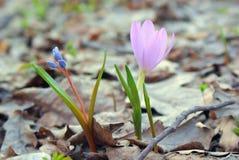 两朵花快乐的会议在早期的春天、蓝色和桃红色的 库存图片