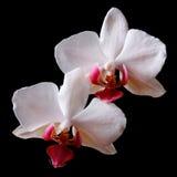 两朵花白色兰花关闭在黑背景 图库摄影