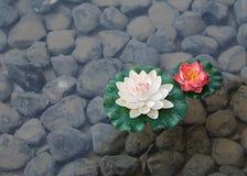 两朵荷花花在池塘 图库摄影