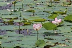 两朵莲花在池塘水中 库存图片