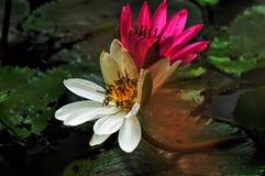 两朵莲花 免版税库存照片